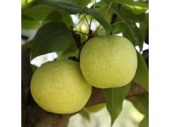 【悦果汇】新鲜水果 特价促销 有机天然 绿宝石梨子 精品5斤装