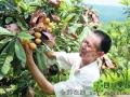 贵州榕江县:枇杷熟 果农笑(图)