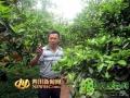 四川眉山:彭山县黄丰镇柑橘走俏市场(图)