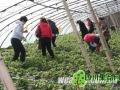 天晴草莓生长正当时 河北草莓进入成熟期(图)