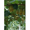 自家果园红心猕猴桃、金艳猕猴桃
