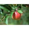 采购优质苹果