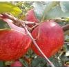 盐源野生苹果新鲜水果