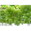 供应香妃葡萄