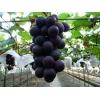 供应巨峰葡萄