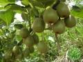 到彭州摘猕猴桃赏美景吃美食