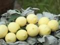 安岳柠檬喜获丰收