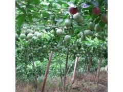 百香果种子西番莲种子鸡蛋果种苗爬藤水果籽阳台多年生水果种子