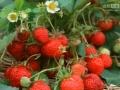 2015年最新无公害草莓种植技术 (51播放)