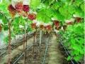葡萄大面积种植技术 (156播放)