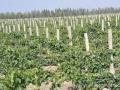 葡萄保护地栽培技术1 (52播放)