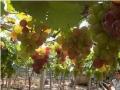 葡萄保护地栽培技术2 (74播放)