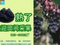 龙井村10组葡萄熟了 (80播放)
