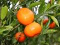 冬天来了,又见柑橘黄