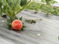 有机水果蔬菜采摘—四川更新生态农业开发有限公司