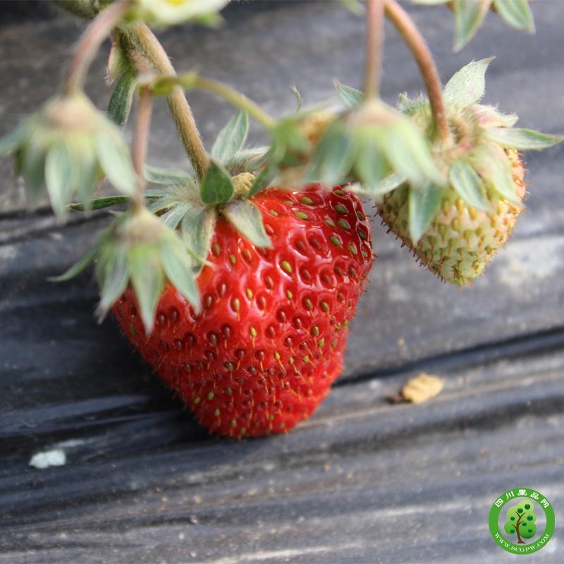 乐夫百亩草莓连锁基地草莓