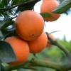 供应大量优质西凤脐橙