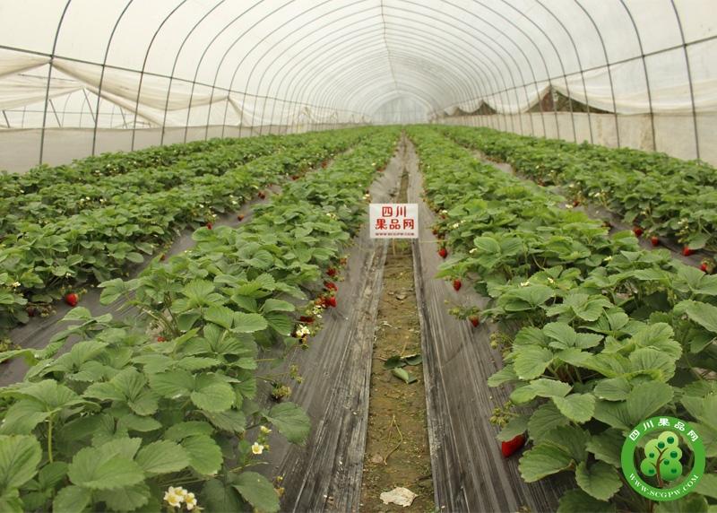 乐夫百亩草莓连锁基地
