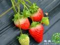 宜宾县高场草莓园邀您采草莓 烧烤 垂钓
