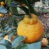 金堂脐橙,碰柑,不知火