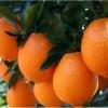 供应大量甜橙、脐橙