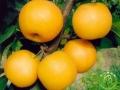"""日韩梨品种""""圆黄梨""""的栽培前景如何?"""