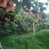 出售猕猴桃苗,自己果园无病害老树嫁接
