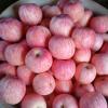 山东红富士苹果产地价格及市场供应
