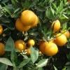 供应秭归夏橙/秭归夏橙湖北秭归脐橙基地盛产