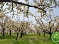 春季管理大樱桃树的三条措施