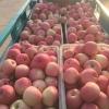 红富士苹果冷库大幅度降价,供应红富士苹果产地