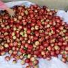 攀枝花优质油桃即将上市