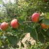 陕西早熟丰园红杏产地批发价格