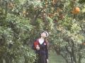 彭山橘树下等你 ——花果同树,四处飘香
