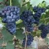 四川夏黑葡萄大量供应,自己种植,联系18728864004