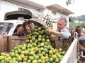 四川泸州:纳溪蜜桔丰收市场俏