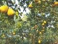 都是龙安柚 为何分贵贱?