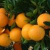 大量出售脐橙