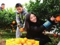柑橘枝头挂 游客闻香来