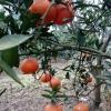 椪柑,血橙,蜜桔