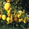 供应新鲜芒果