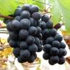 供应大量巨峰葡萄