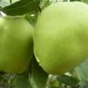 早酥梨、皇冠梨20万-----100万斤,寻求有意向老板