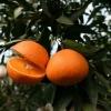 爱媛38号产自美丽的桔橙之乡是送人的最佳必备首选