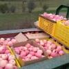大量出售甘肃苹果,品种多为红富士