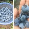 供应红如意软籽石榴苗蓝莓苗樱桃苗葡萄苗榛子苗核桃苗