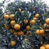 大量供应柑橘