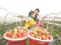 东坡区冬草莓已进入成熟期