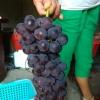 生态种植巨峰葡萄大量供应