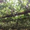 大量产地批发百香果紫香